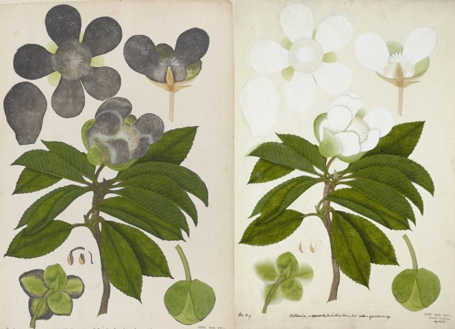 East India Company botanical drawing with blackened flowers before conservation (left) and after where the flowers are white (right)