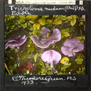 Hand-coloured magic lantern slide of fungus