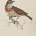 'Bluebreast' Colour woodblock engraving by Benjamin Fawcett (1808-1893)