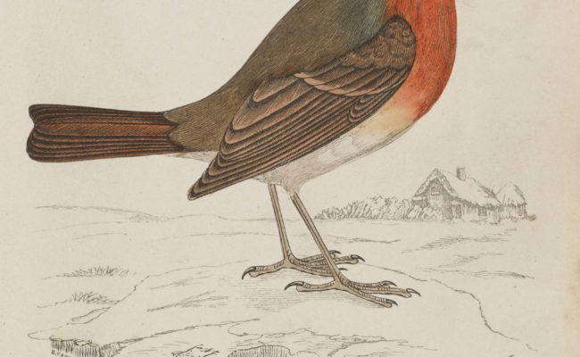 Colour woodblock engraving of a Redbreast by Benjamin Fawcett (1808-1893),