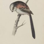 'Long-tailed tit' colour woodblock engraving by Benjamin Fawcett (1808-1893)