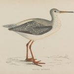 'Spotted Redshank' colour woodblock engraving by Benjamin Fawcett (1808-1893)