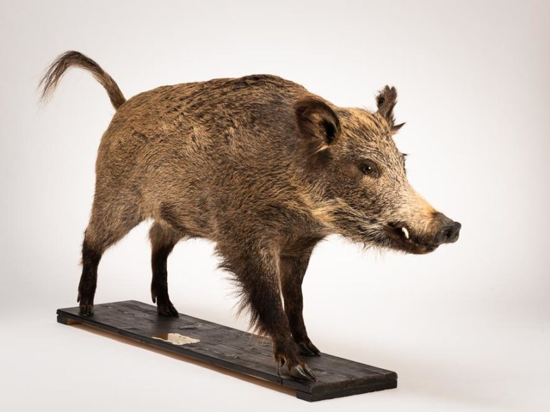 Taxidermy mount of a wild boar. It was a gift from Exeter's twin city Bad Homburg