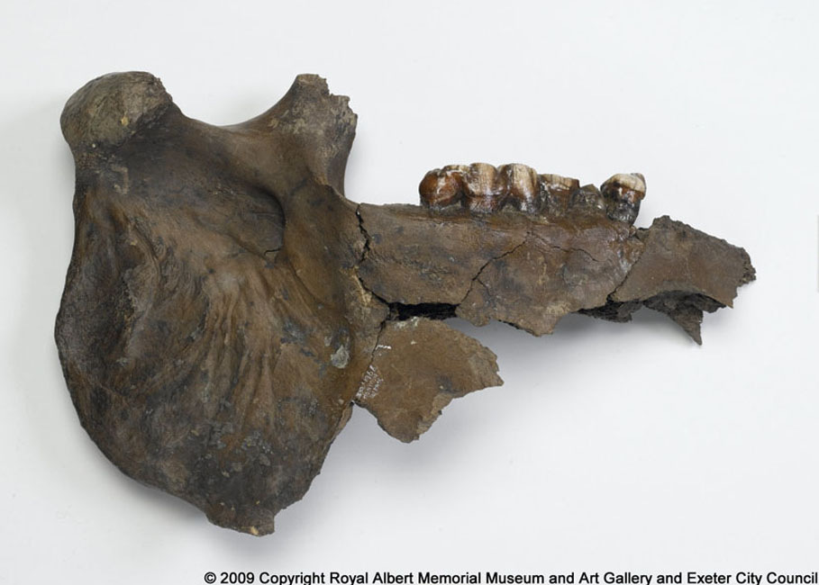 Fossil Honiton hippo lower jaw