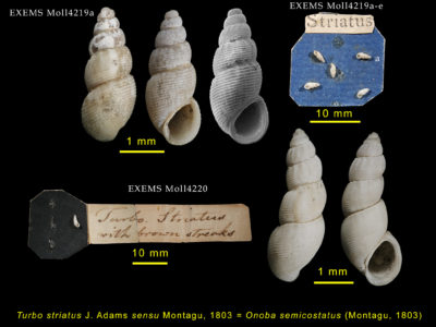 George Montagu 's specimens of Onoba semicostata