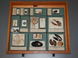 A drawer of specimens belonging to shell collector George Montagu