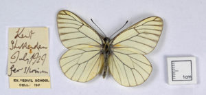 White butterfly with many thin black veins on its wings. there is a hand-written label next to it.