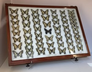 neat rows of yellow butterflies in a wooden, glass-topped drawer. the central butterfly is black.