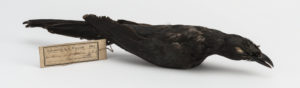 Skin of a small black bird. It has a rectangular paper label tied to its leg that reads 'Collected by A. R. Wallace 1861 Calornis mysolensis G.R.G. Salawatte'.