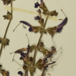 Close up of a pressed plant showing the purple flowerrs