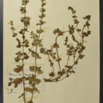 pressed plants mounted on white paper