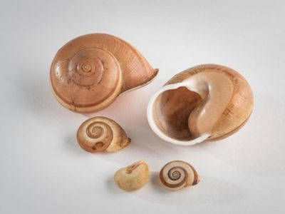 five land snail shells collected by Alfred Russel Wallace