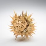 Spiny seed casing from the datura plant from William D'Urban's botany collection