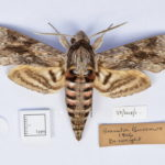 pinned specimen of a convolvulus hawkmoth