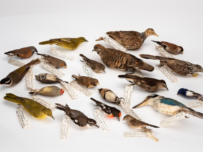 20 Australian birds with museum labels collected on the first Leichhardt Expedition